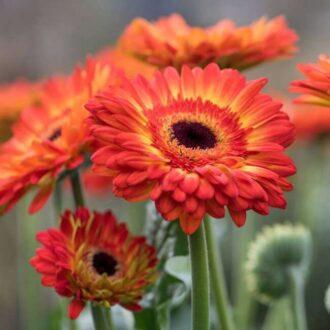 گل ژربرا