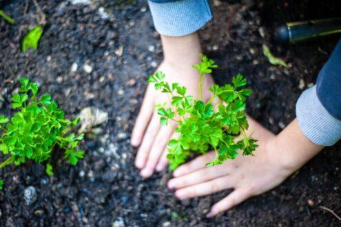 کاشت جعفری در گلدان / کاشت جعفری در باغچه