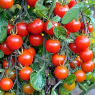 کاشت گوجه فرنگی / کاشت گوجه فرنگی در گلدان