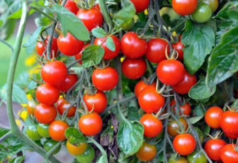 کاشت گوجه فرنگی در گلدان / کاشت گوجه فرنگی
