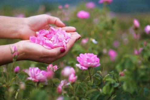 نگهداری از گل محمدی