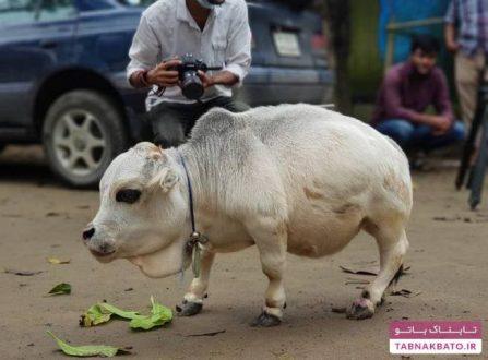 معروف ترین گاو دنیا وارد گینس شد