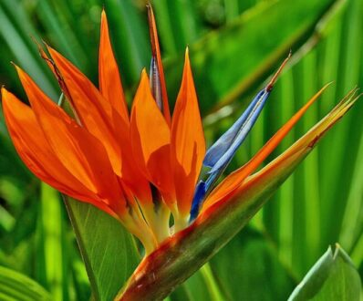 گل پرنده بهشتی / استرلیتزیا