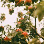داستان باغ سیب