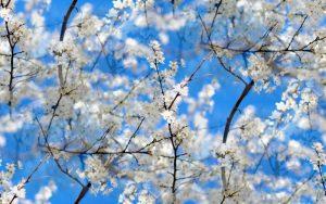 cherry blossom spring flowers 300x188 - درمحضر علامه حسن زاده آملی؛ بُوَد عید آن که دور از خود نمایی خوی حیوانی